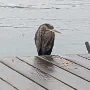 Wet great blue heron huddle on the edge of a deck over the water illustrating how I feel about What Happened to Our Ability to Understand Cause and Effect