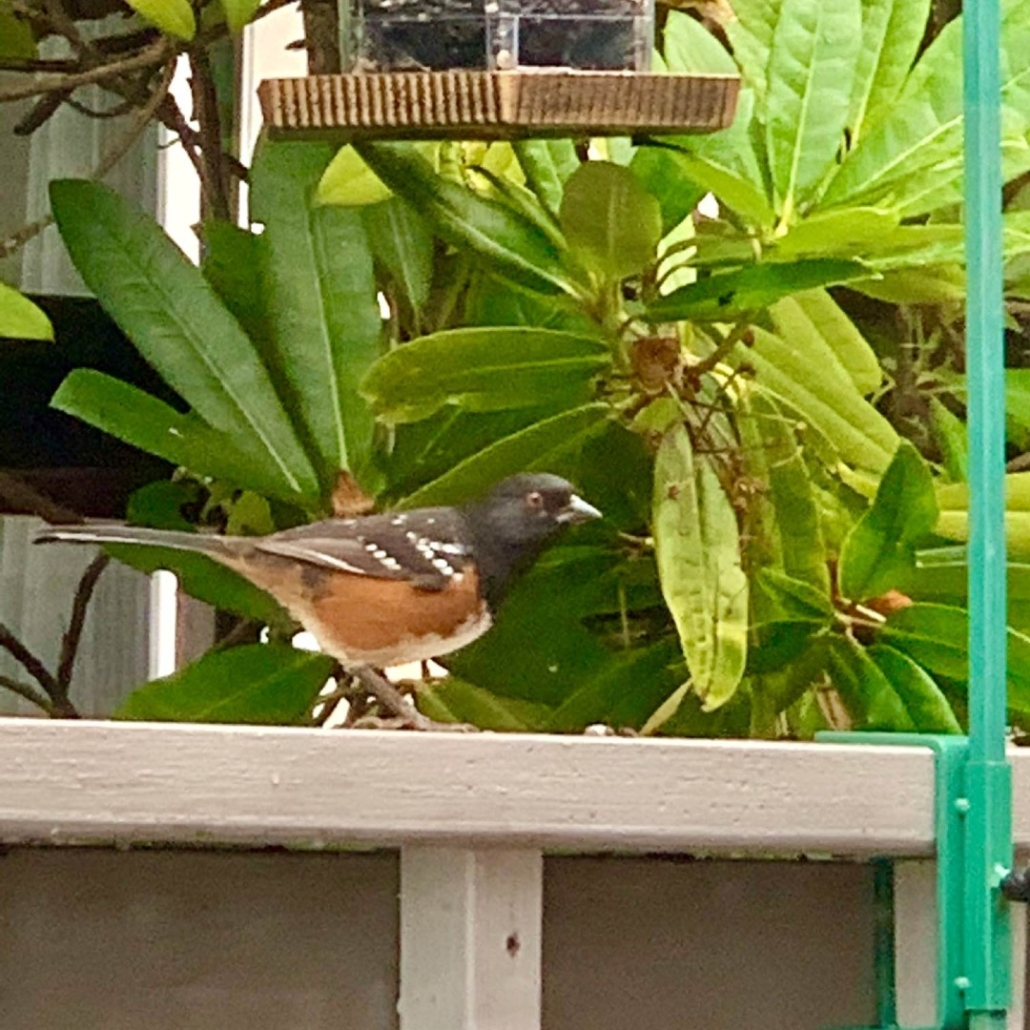 Spotted Towhee attracted by our bird sanctuary
