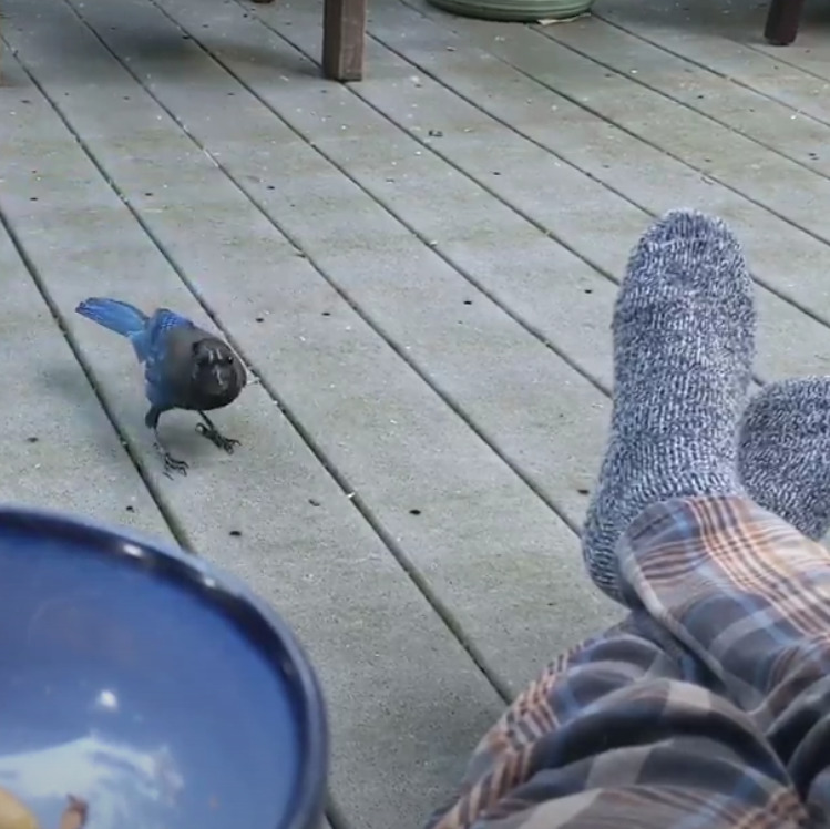 Stellers Jay getting close