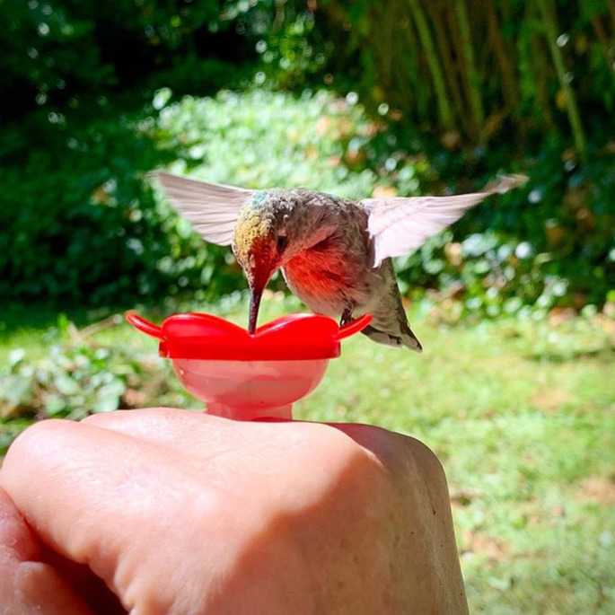 hummingbird feeding from Erika Vanvick's hand at our Bellevue, WA apartment